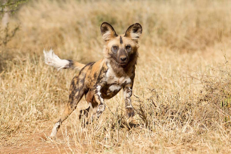 wild dogs -rabies