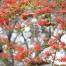 Ntsiri - Combretum microphyllum