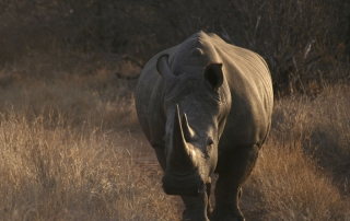 Rhino strolling at Ntsiri Private Game Reserve