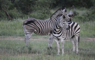 Zebra at Ntsiri Game Reserve