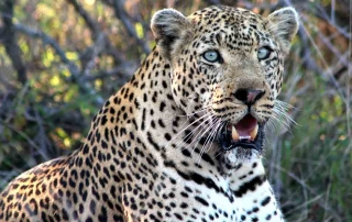A close up of a leopard at Ntsiri Private Game Reserve