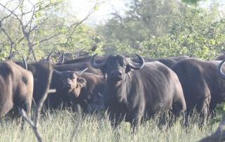buffalo at Ntsiri Private Game Reserve