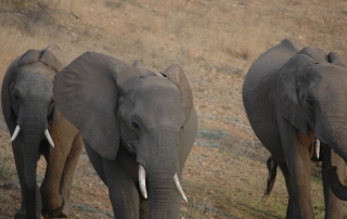 Close up of three Elephants at Ntsiri Game Reserve