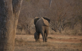 Two Elephants at Ntsiri Game Reserve