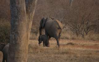 Big elephant and baby elephant walking next to each other at Ntsiri Private Nature Reserve