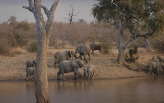 Elephants at dusk near watering point at Ntsiri Private Game Reserve