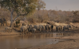 Elephants at dusk walking away from a watering hole at Ntsiri Private Nature Reserve
