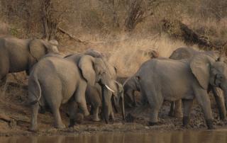Elephants at Dusk at Ntsiri Private Game Reserve