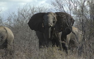 Elephants walking through the African bush at Ntsiri Nature Reserve