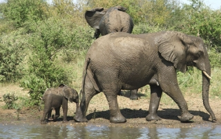 Two big elephants and a baby leaving watering hole at Ntsiri Private Nature Reserve