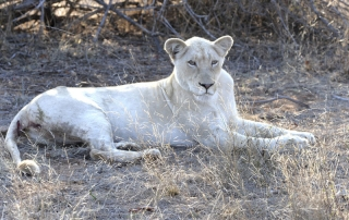 Female lion at Ntsiri