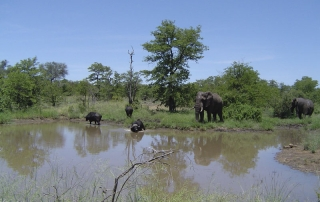 Elephants and buffalo at Ntsiri Private nature Reserve