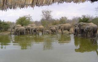 Elephants stop at watering hole outside at ntsiri