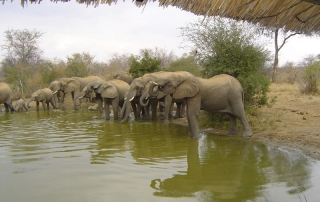 Elephants at watering hole near a private Ntsiri unit