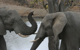 elephants interacting at Ntsiri Private Game Reserve