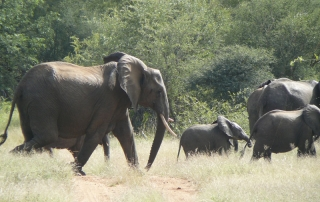Elephant Visits - elephants running at Ntsiri Private Game Reserve