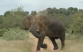 Elephant Visits - elephant walking and blowing dust from its trunk