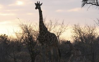 GIRAFFE at Ntsiri Private Game Reserve