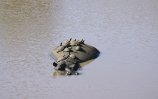 Turtles rest on hobos back at Ntsiri Private Game Reserve