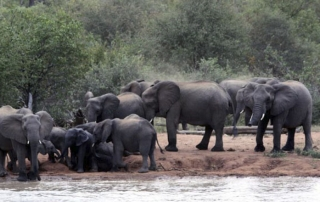 Elephants gathered at Ntsiri Private Game Reserve