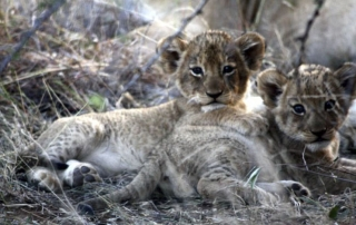 Ntsiri Private Game Reserve - cubs in the veld