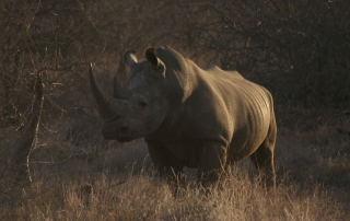Solo Rhino at Ntsiri Private nature Reserve