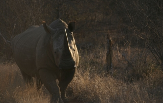 Rhino walking towards camera at Ntsiri Private nature Reserve