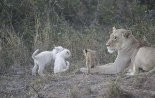 Lion with tiny cubs at Ntsiri Private Game Reserve