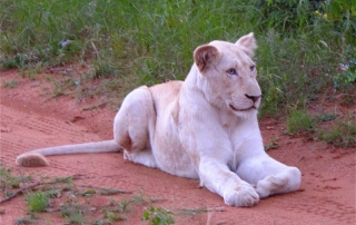 Lion sitting on a dirt road at Ntsiri Private Game Reserve