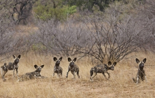 Alert Wild dog Ntsiri Private Game Reserve