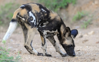 Wild dog at Ntsiri Private Game Reserve