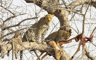 Leopard with kill in a tree at Ntsiri Private Game Reserve