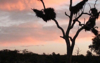 Ntsiri - tree at sunset